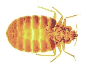 Bed Bugs-Pest Control Wrexham