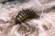 Carpet Beetle-Pest Control Wrexham