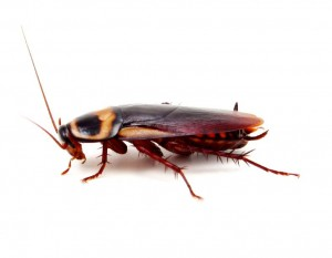 Cockroach Removal-Pest Control Wrexham