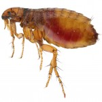 Flea Control-Pest Control Hightown
