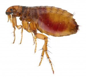 Flea Removal-Pest Control Wrexham