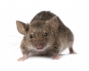 Mice Control Wrexham