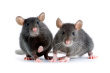 Mice Control-Pest Control Wrexham
