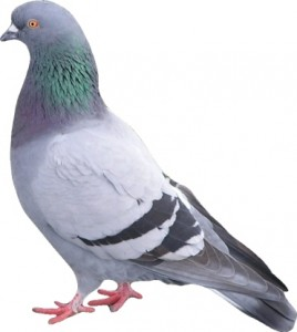 Pigeon Proofing-Pest Control Wrexham