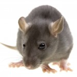Rodent Control-Pest Control Kings Marsh
