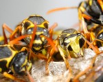 Wasp Nest Removal-Pest Control Wrexham